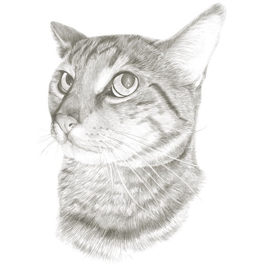 Pencil portrait of Henry the cat